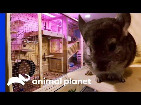 Family Of 7 Chinchillas Get An Incredible New Basement Enclosure Animal Cribs