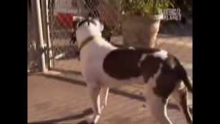 Pitt bull reabilitado 01   Cesar Millan
