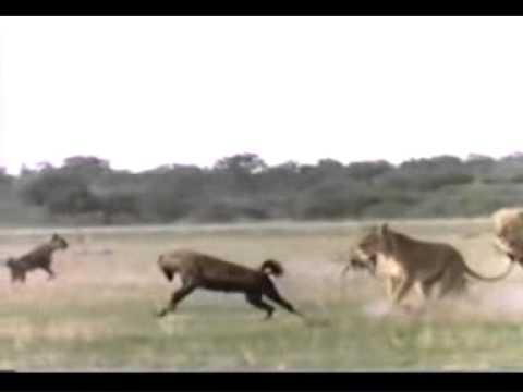 A caçada do Leão.wmv