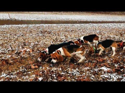 Skyview s Beagles Rabbit Hunting Sight Chase & Kiill Shot At End