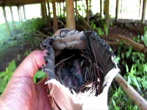 Pássaro faz ninho dentro de uma bota