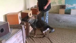 Explosive Training Dogs With MIŠO