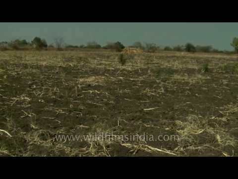 Drought affected fields in Manegaon Village, Maharashtra
