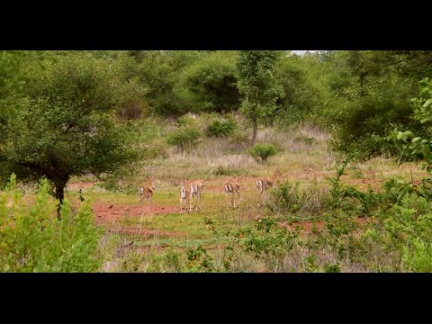 Xxx Mp4 Blackbucks At Ranebennur Blackbuck Sanctuary Karnataka 3gp Sex