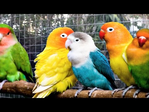 Lovebirds singing and chirping (1 hour) Agapornis sound