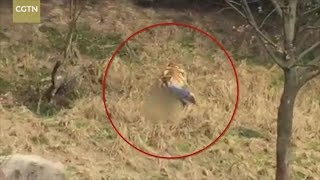 Tiger mauls man to death