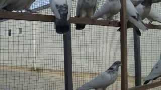 کبوتر تهران و کاشان İRANIAN HİGH FLYER 2013 IZMIR '   iran yuksek ucus guvercini