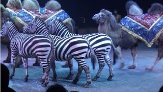 Circus. The show of different animals. Camels and zebras