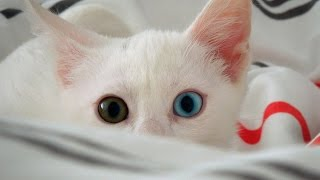 Kara Bey Compilation - Funny White Odd-Eyed Cat