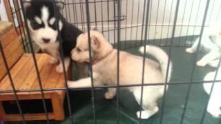 Puppy speeltijd 2 (onze ukkies)