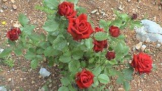 57_Roses Bark Graft /गुलाब की बर्क ग्राफ्ट