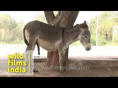 Xxx Mp4 A Pair Of Donkeys On An Indian Street 3gp Sex
