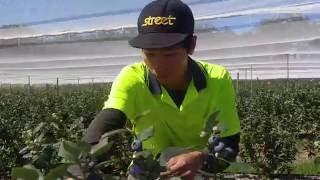 Picking Blueberry In Australia 採藍莓