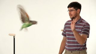 How to Teach Your Parrot to Fly   Parrot Training