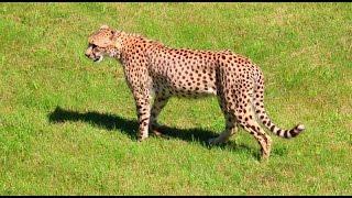 Wildlife Videography - Cheetha