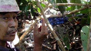 how to Grafting with water