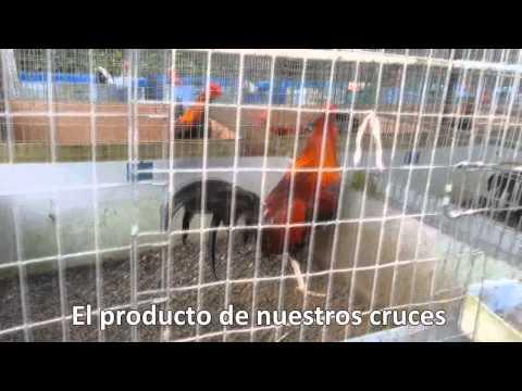 2da Presentacion Video de Los Poderosos Gallos C 11 Carlos Villalobos Venta Internacional