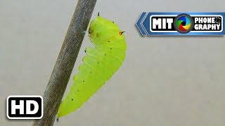 Graphium Agamemnon (Tailed Jay) Transformation: Caterpillar to Butterfly - Timelapse