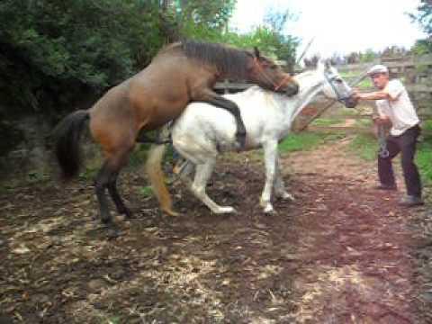 Cobrindo minha égua