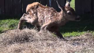 AWCC-M-Fawn#5 First Steps