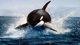 وثائقي الحوت القاتل رعب المحيط  - ناشيونال جيوغرافيك