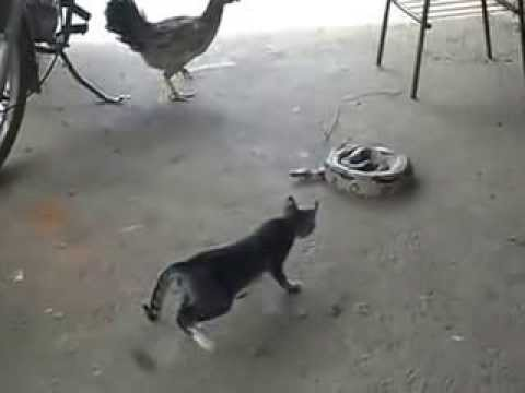 Gato assusta e pula encima da cobra
