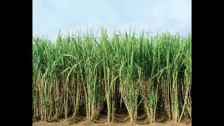 Sugar Cane Field PIC -JustImages