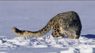Leopard Documentary - Snow Leopard  Animal Planet I National Geographic