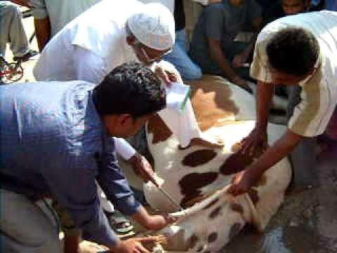 cow qurbani 2010