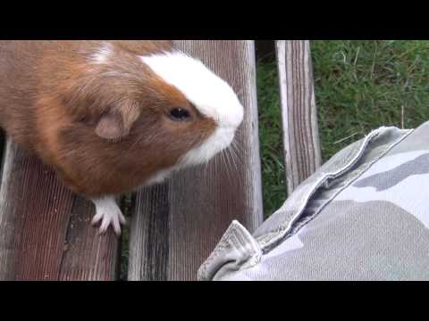 My very cute guinea pig, very funny pet, beautiful home sweet animal   HD video