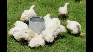 Raising Organic Meat Birds