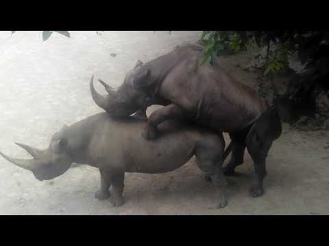 Xxx Mp4 Fort Worth Zoo Rhino Sex 3gp Sex