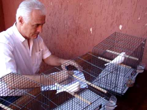 Álvaro Blasina ensinando sobre canário branco