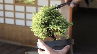 Bonsai Starter kit: How to make a Bonsai tree