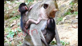 Amazing twin newborn monkey, It is so beautifun newborn monkey, Never seen twin like this