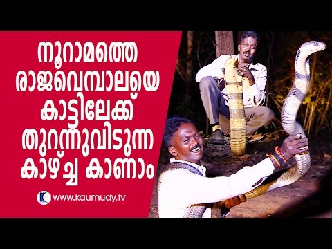 Wow ! Vava Suresh releasing 100th King Cobra into forest | Snake Master