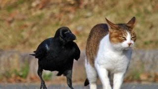 Top Funny Crow Videos Compilation 2017 [BEST OF]
