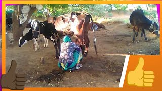 HOW TO MILKING COW WOMAN.