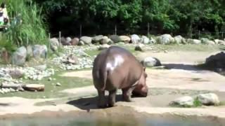 L'incredibile scoreggia di un ippopotamo