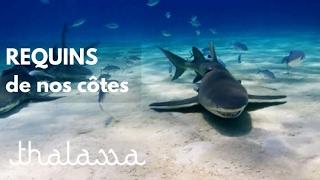 Requins de nos côtes (reportage complet) - Thalassa