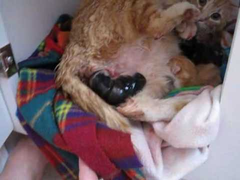 Cat Giving Birth graphic