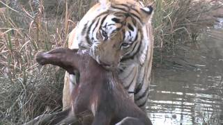 Tiger kills blesbuck at Tiger Canyons. Tigers need your help to survive.