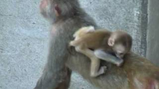 Twins Monkey Babies 双子のサルの赤ちゃん