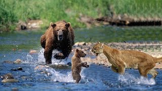Mother Bear Save Her Baby From Puma | Puma Hunting Fail