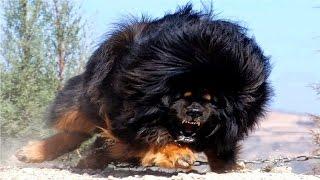 أخطر وأشرس 5 كلاب في العالم