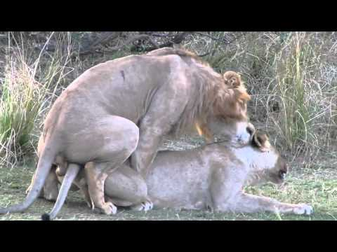 Lion sex, mating and orgasm  Just like humans.