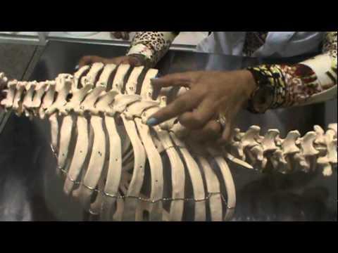 ANATOMIA HUMANA Ossos do TRONCO