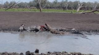 Crocodile vs zebra in selous game reserve