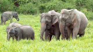 Elephant Aunties Play a Key Role in Raising Calves