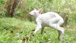 Rare Albino Chevrotain Saved from Predators